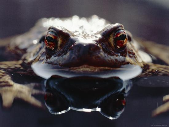 chris-packham-common-european-toad-female-portrait-bufo-bufo-in-water-england