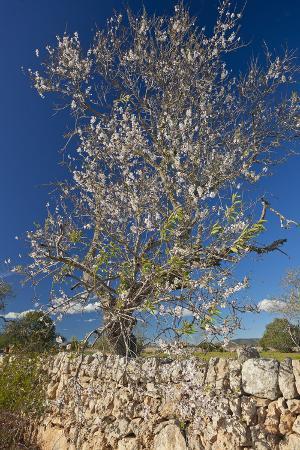 chris-seba-europe-spain-majorca-almonds-meadow-stone-wall
