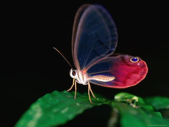 christer-fredriksson-glasswing-butterfly-cithaerias-menander-corcovado-national-park