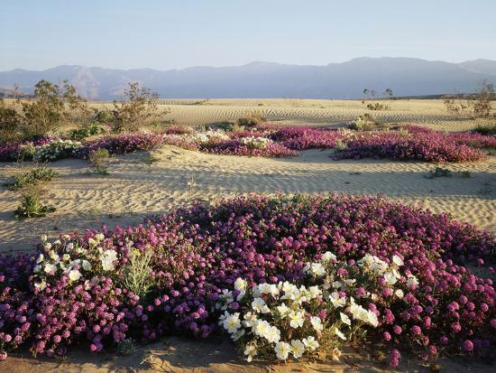 christopher-talbot-frank-california-anza-borrego-desert-sp-wildflowers-on-a-sand-dune