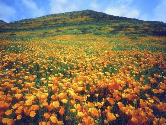 christopher-talbot-frank-california-poppies-lake-elsinore-california-usa