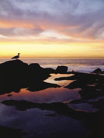 christopher-talbot-frank-seagull-at-sunset-cliffs-tidepools-on-the-pacific-ocean-san-diego-california-usa