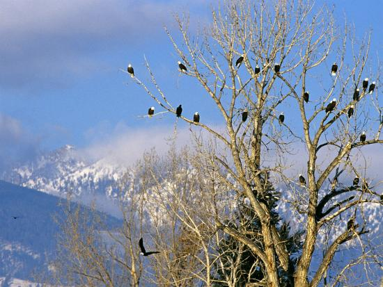 chuck-haney-bald-eagles-in-the-bitterroot-valley-near-hamilton-montana-usa
