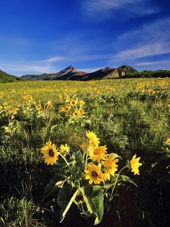 chuck-haney-balsamroot-along-the-rocky-mountain-front-waterton-lakes-national-park-alberta-canada