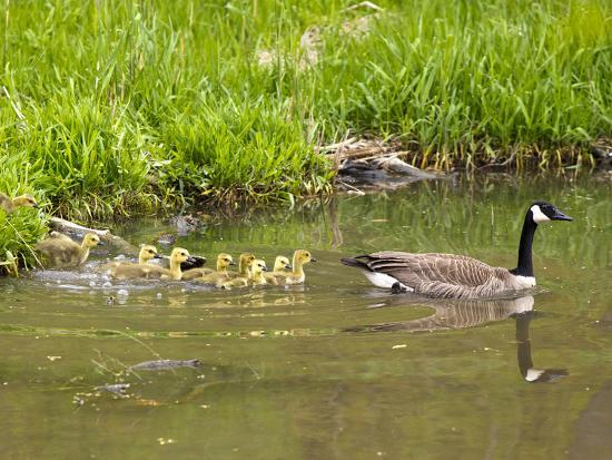 chuck-haney-canada-geese-with-goslings-at-starved-rock-state-park-near-utica-illinois-usa