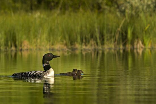 chuck-haney-common-loon-with-pair-of-newborn-chick-on-small-mountain-lake-near-whitefish-montana-usa