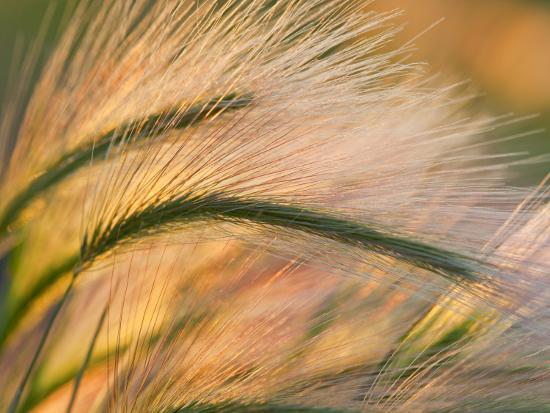 chuck-haney-foxtail-barley-backilt-near-east-glacier-montana-usa