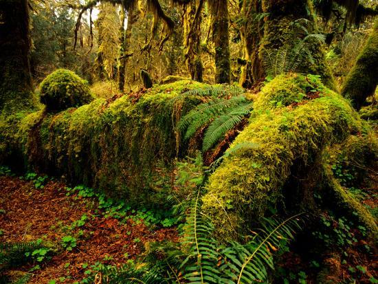 chuck-haney-hall-of-mosses-trail-in-hoh-rainforest-in-olympic-national-park-washington-usa