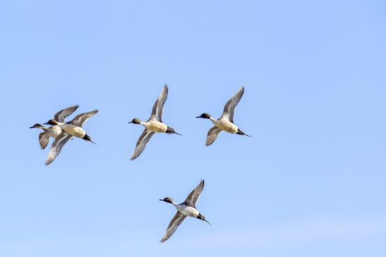 chuck-haney-northern-pintail-ducks-in-courtship-flight-montana-usa