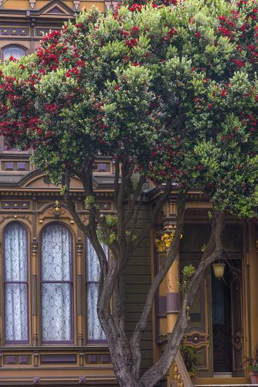 Red gum tree frames Victorian style home, San Francisco, California ...