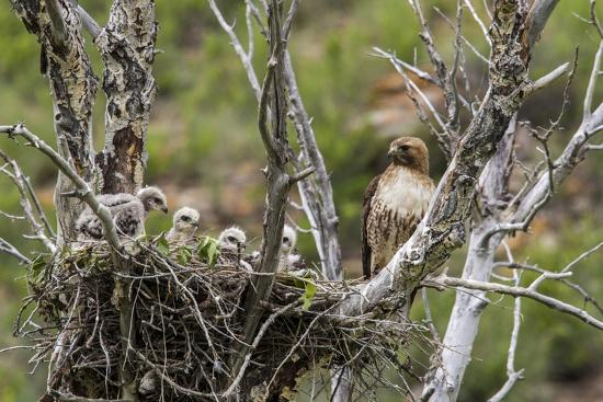 chuck-haney-red-tailed-hawk-with-four-chicks-in-nest-near-stanford-montana-usa