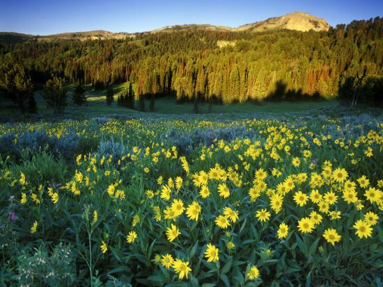 chuck-haney-wildflowers-near-lionshead-mountain-gallatin-national-forest-west-yellowstone-montana-usa