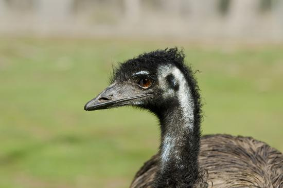cindy-miller-hopkins-australia-adelaide-cleland-wildlife-park-large-flightless-emu
