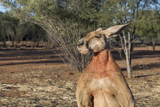cindy-miller-hopkins-australia-alice-springs-the-kangaroo-sanctuary-large-male-kangaroo