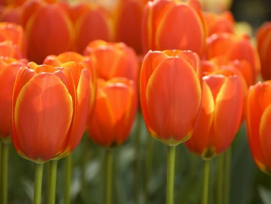 cindy-miller-hopkins-keukenhof-gardens-lisse-netherlands