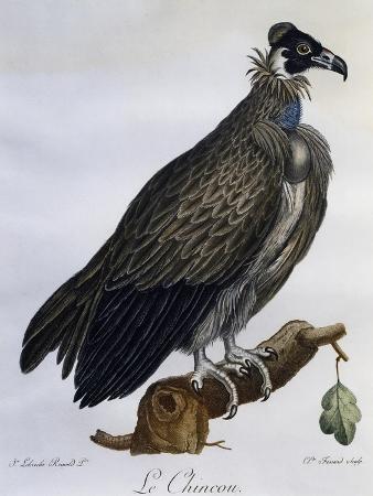 cinereous-vulture-aegypius-monachus