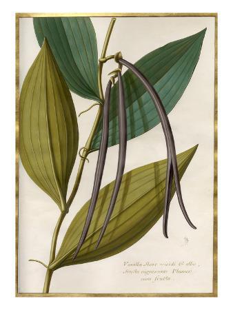 claude-aubriet-vanilla-flore-viridi-et-albo-fructa-nigrescente-plumer-cum-fructa