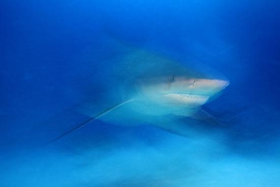 claudio-contreras-bull-shark-carcharhinus-leucas-playa-del-carmen-caribbean-sea-mexico-january