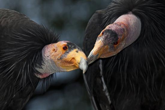 claudio-contreras-california-condors-gymnnogyps-californicus-interacting-captive-endangered-species