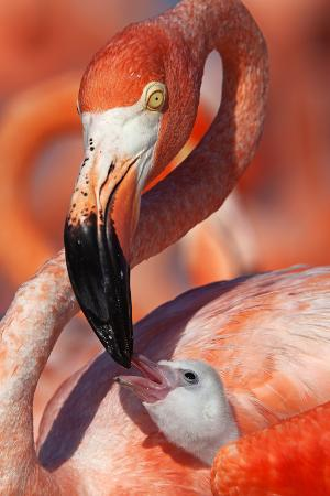 claudio-contreras-caribbean-flamingo-phoenicopterus-ruber-adult-feeding-chick