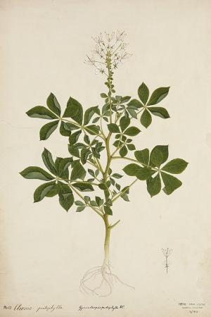 cleome-pontaphylla-1800-10