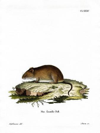 cliff-mouse