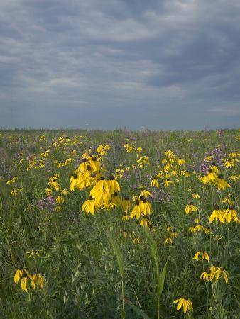 clint-farlinger-coneflowers-in-native-tallgrass-prairie-under-gray-sky