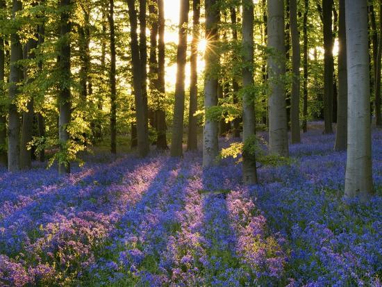 clive-nichols-bluebell-wood-at-coton-manor