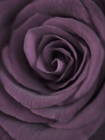 clive-nichols-deep-purple-rose