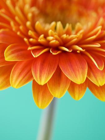 clive-nichols-orange-gerbera-daisy