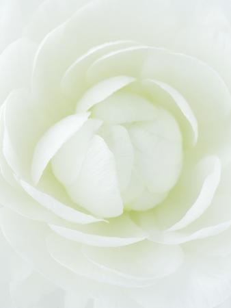 clive-nichols-white-petals-of-flower