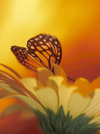 close-up-of-a-delicate-monarch-butterfly-resting-on-a-yellow-asteraceae-flower