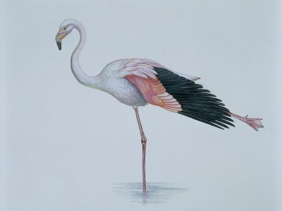 close-up-of-a-greater-flamingo-standing-in-water-phoenicopterus-ruber