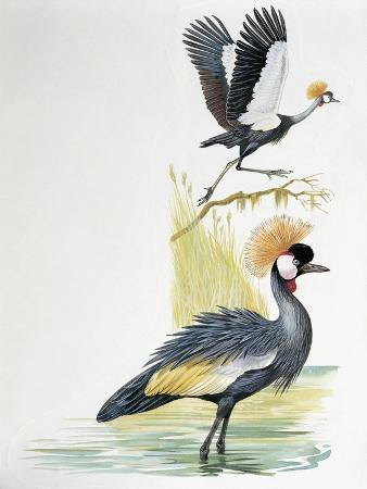close-up-of-a-grey-crowned-crane-balearica-regulorum-with-a-black-crowned-crane-balearica-pavoni