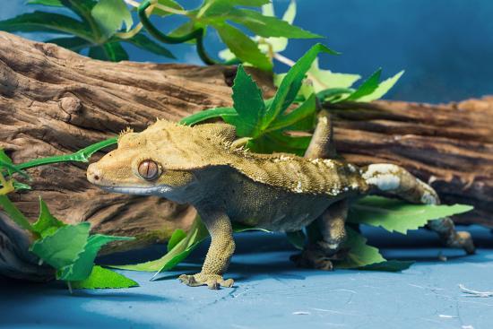 close-up-of-gecko-lizard