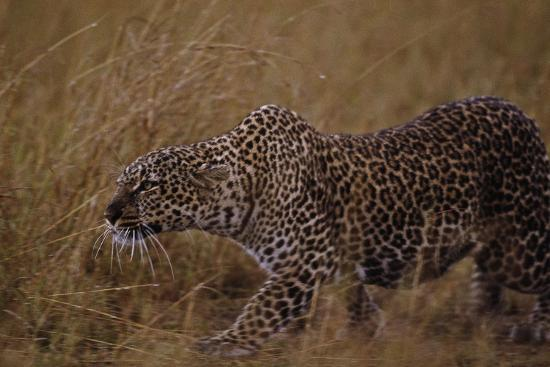 close-up-of-stalking-leopard