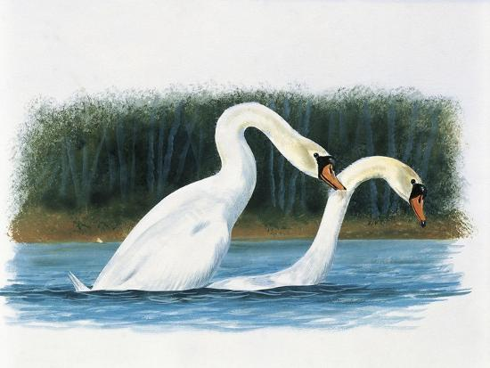 close-up-of-two-mute-swans-mating