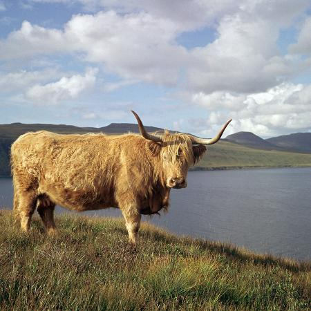 cm-dixon-highland-cows-on-the-isle-of-skye