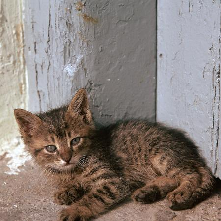 cm-dixon-kitten-in-heracleion