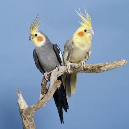 cockatiel-birds-two-perched-on-branch