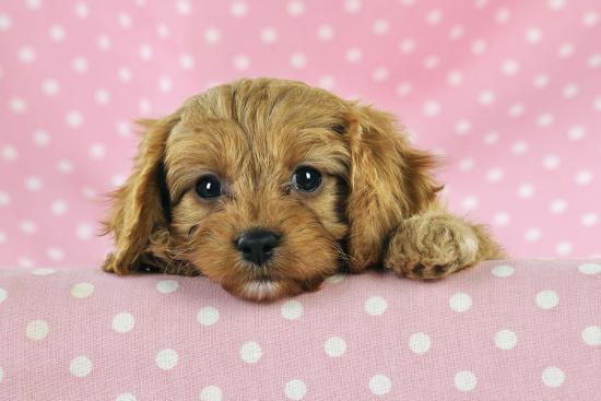 cockerpoo-puppy