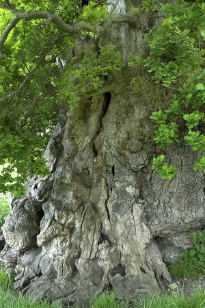 colin-varndell-ancient-english-oak-quercus-rober-tree