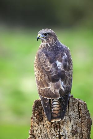 colin-varndell-common-buzzard
