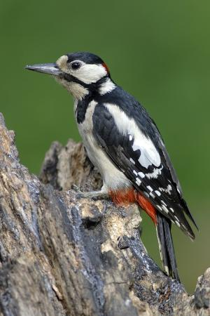 colin-varndell-male-great-spotted-woodpecker