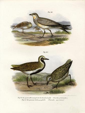 collared-pratincole-1864