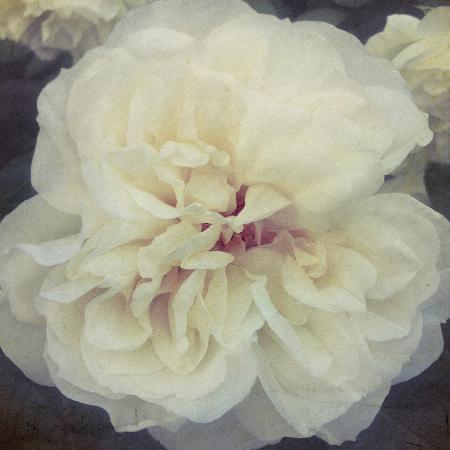 collezione-botanica-ivory-petals