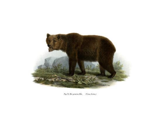 common-bear-1860