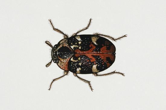 common-carpet-beetle-anthrenus-scrophulariae-dermestidae-artwork-by-rebecca-hardy