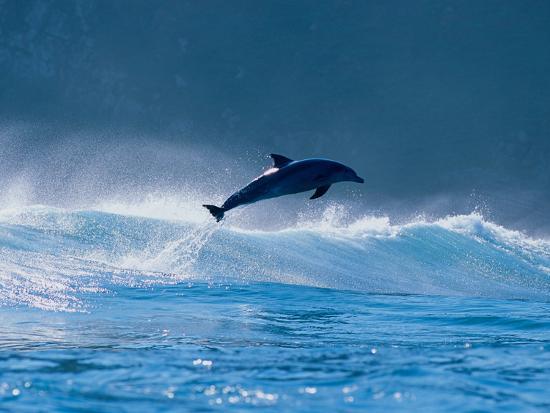 common-dolphin-breaching-in-the-sea
