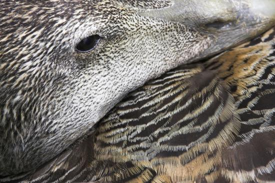 common-eider-duck-female-close-up-of-eye-and